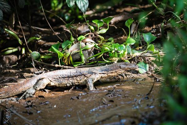 LIZARD - water monitor lizard-5660