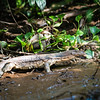 LIZARD - water monitor lizard-5660
