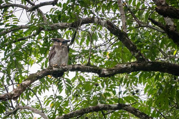 BIRD - Owl barred eagle -5055