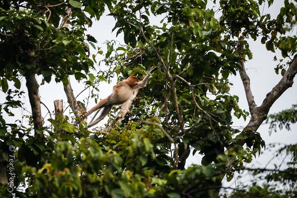Monkey -  Proboscis jumping -5554