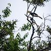 BIRD - hornbill-5090