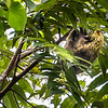 "COLUGO - ""flying lemur""-5273"