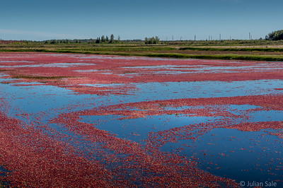 This is the largest cranberry farm in the world just east of Drummondville, Quebec.  This is one cranberry patch which they flood in order harvest the cranberries.  There dozens of such patches on this farm.