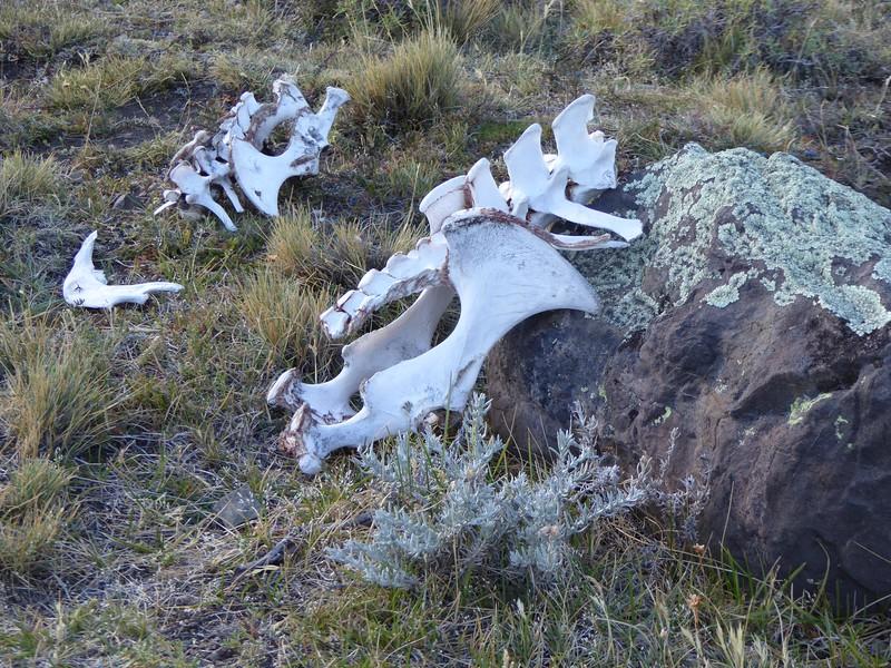 Guanaco remains, Torres del Paine