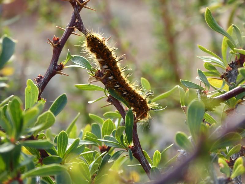 Lonomia obliqua (or Giant Silkworm Moth) - Toxic