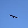 Aplomado Falcon overhead