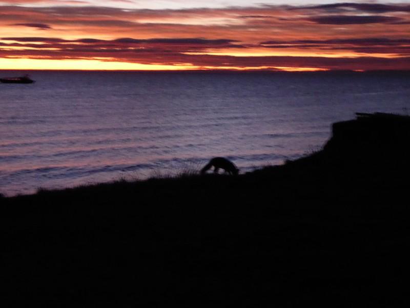 Fox at Sunrise