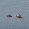 Trio of flamingos