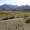 Sheep (Puma food) at Torres del Paine