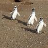 Magellanic Penguins - Magdelana Island