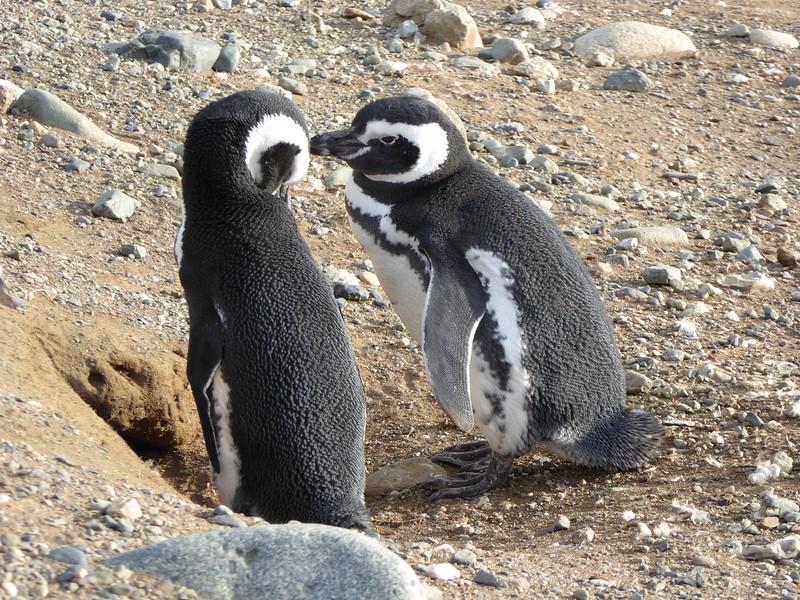 Magellanic Penguin couple - Magdelana Island