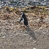 Magellanic Penguin - Magdelana Island