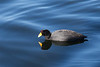 Andean Coot