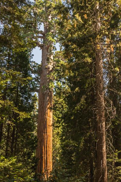 Sequoia Treee