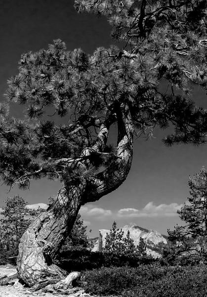 Gnarly Cedar Tree in Black