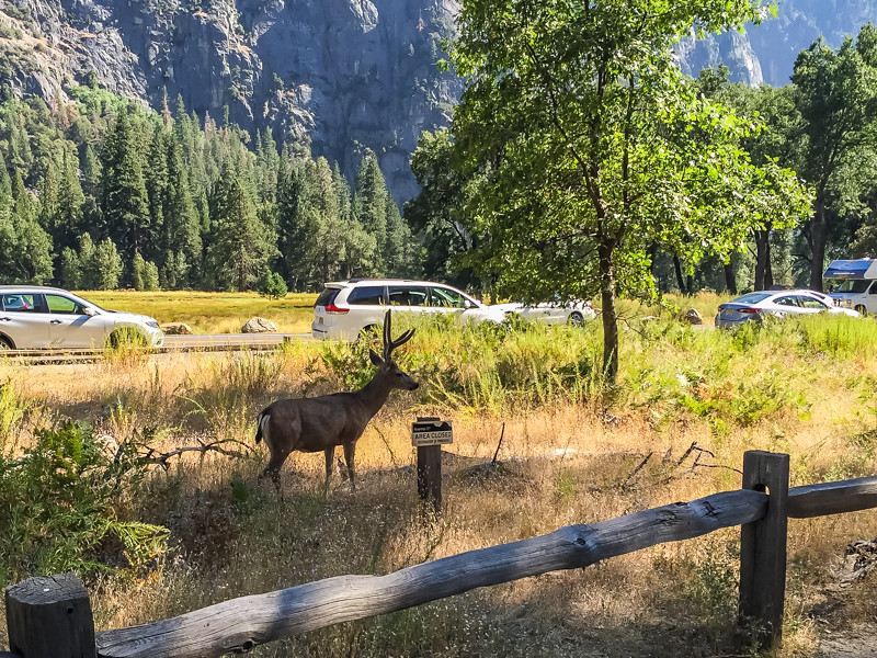 I wouldn't say I saw a lot of deer in Yosemite. And, the ones I did see seemed on the small side. In any case they seem pretty acclimated to the tourist traffic.