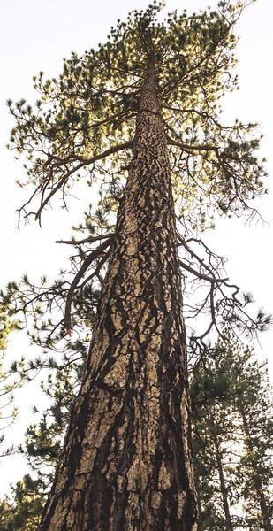 Gentile Giant Redwood