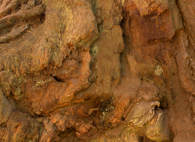 How a sequoia heals