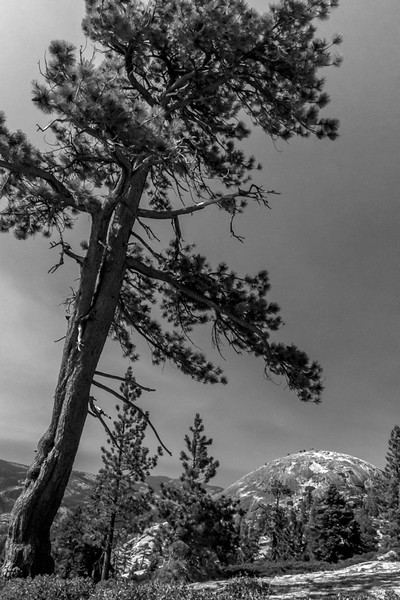 Sentinel tree for Sentinel Dome