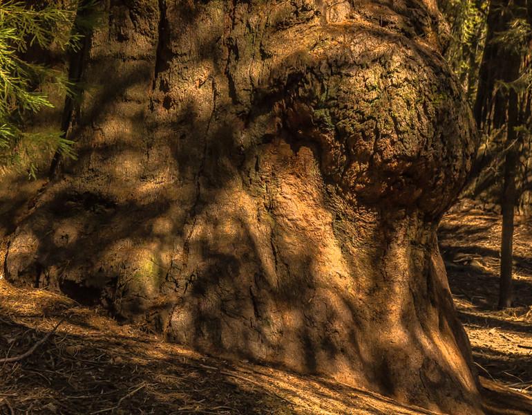 Pregnant Sequoia