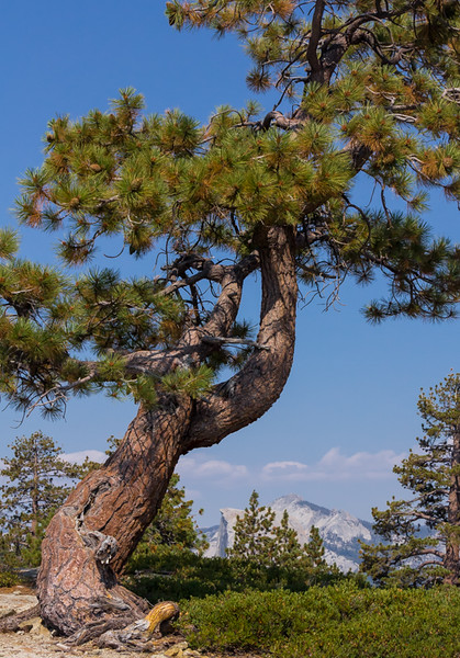 Gnarly Cedar Tree