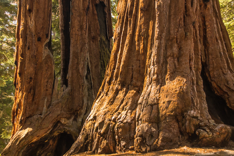Sequoia pair