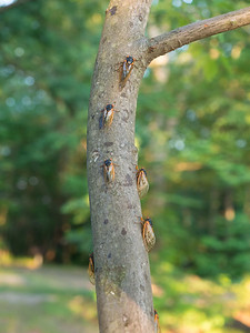 Tree covered with cicadas, Cuyahoga Valley National Park