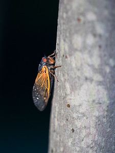 17 year cicada, Cuyahoga Valley National Park