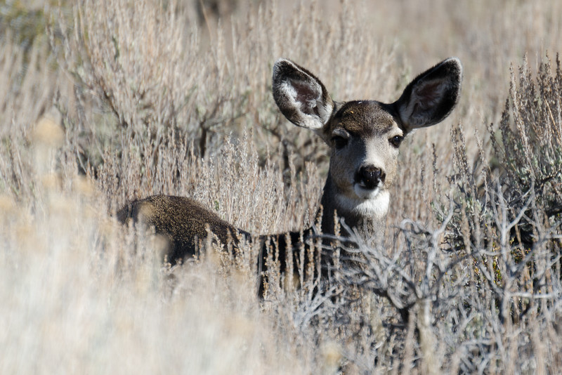 Mule Deer - Mono Lake, California