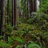 Muir Woods, Redwoods