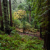 Muir Woods, Redwoods