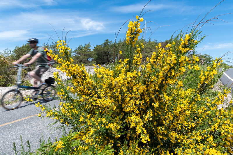 Shrubs in bloom along the Cape Cod Province Lands bike path.