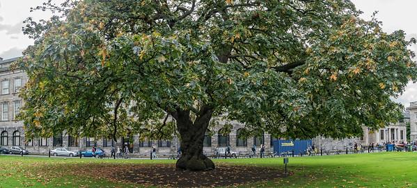 Tree at Trinity College Pan Trinity College, Dublin, Ireland
