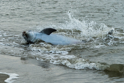 Bottlenose dolphins feeding in the straight at the west end of Kiawah Island.