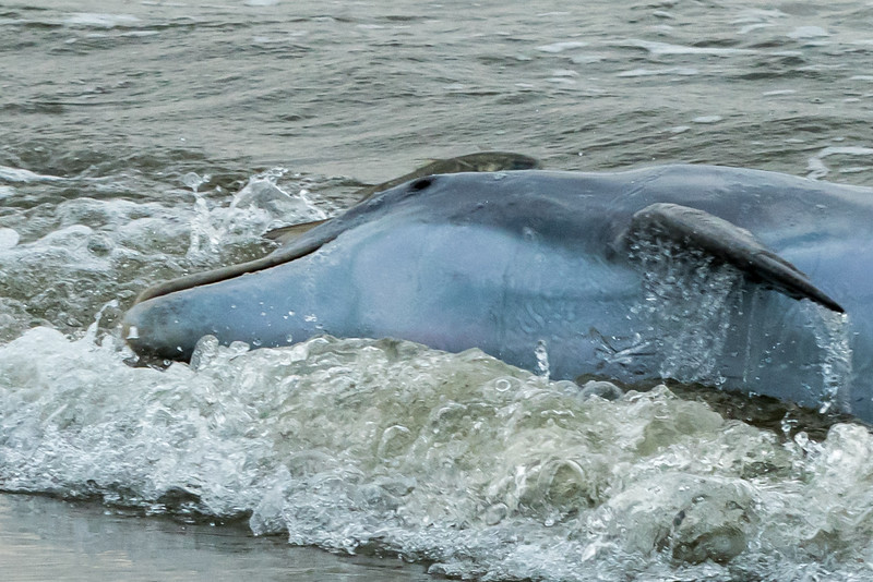 (Zoom: a fish gets away!) Dolphins feeding in the straight at the west end of Kiawah Island.