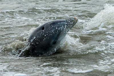 (Zoom) Dolphins feeding in the straight at the west end of Kiawah Island.