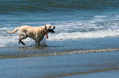 Scout runs and swims on the Kiawah beach.