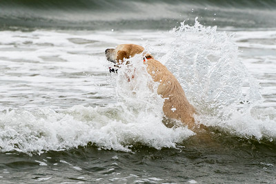 Scout swimming at Kiawah.