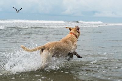 Scout and the boys swimming at Kiawah.