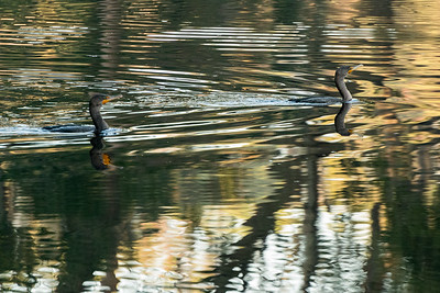 Cormorants in the lagoon on Kiawah Island.