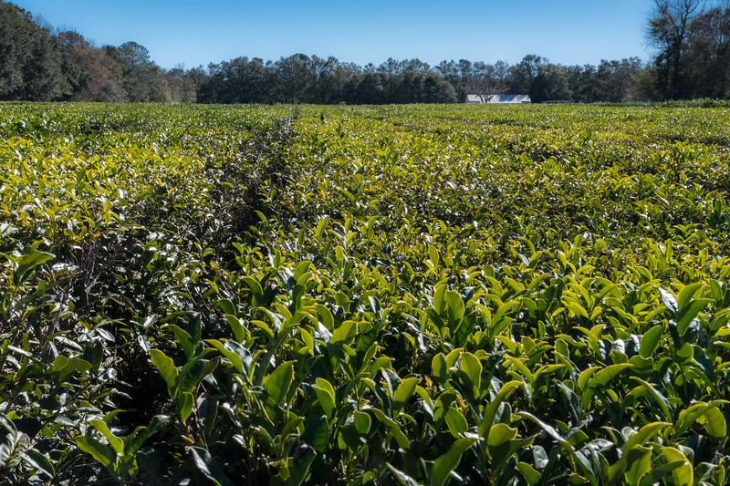 One of the tea fields at Charleston Tea Plantation.