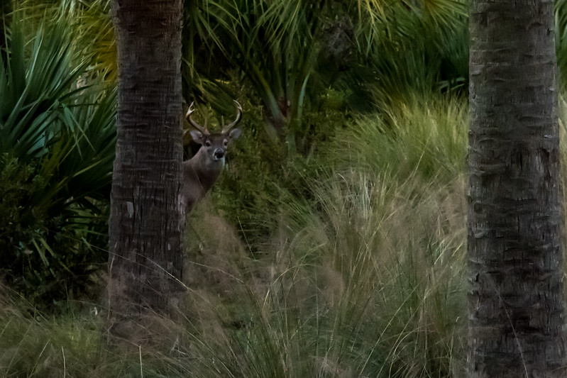 A buck beside the road on Kiawah Island.