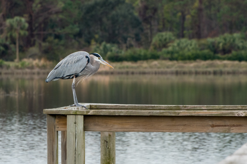 Great blue heron - bass pond, Kiawah Island.
