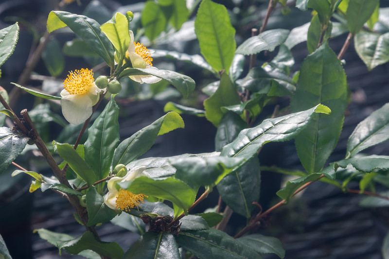 Blossoms on young tea plants in the greenhouse at Charleston Tea Plantation.