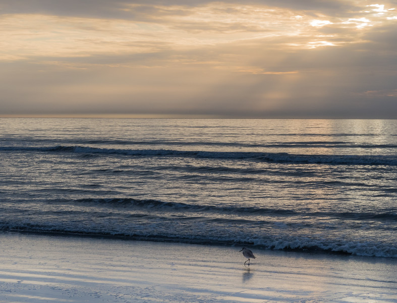 Sandpipers forage at sunrise on New Years Day - Kiawah Island.