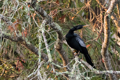 An anhinga awaits the sunshine on Christmas morning, Kiawah Island.