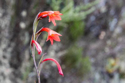 Gladiolus watsonides, one of the many beautiful flowers along the trail.