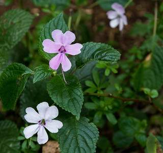 Impatiens Pseudoviola along the forest trail.