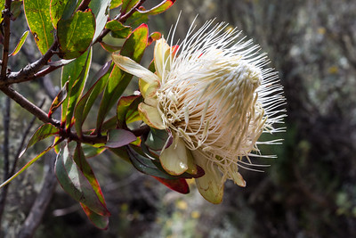 Protea Kilimanjaro, a stunning flower the size of my fist.