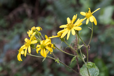 Bidens kilimandsharica, one of many beautiful flowers along the forest trail.
